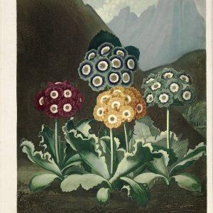 Картина Роберта Джона Торнтона Примула