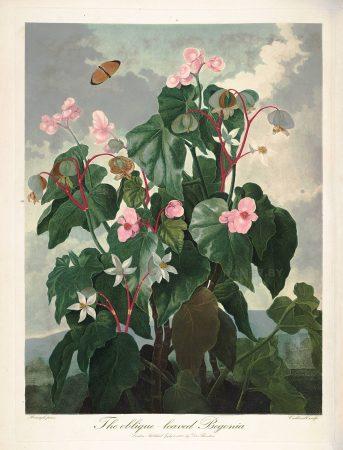 Картина Роберта Джона Торнтона Бегония