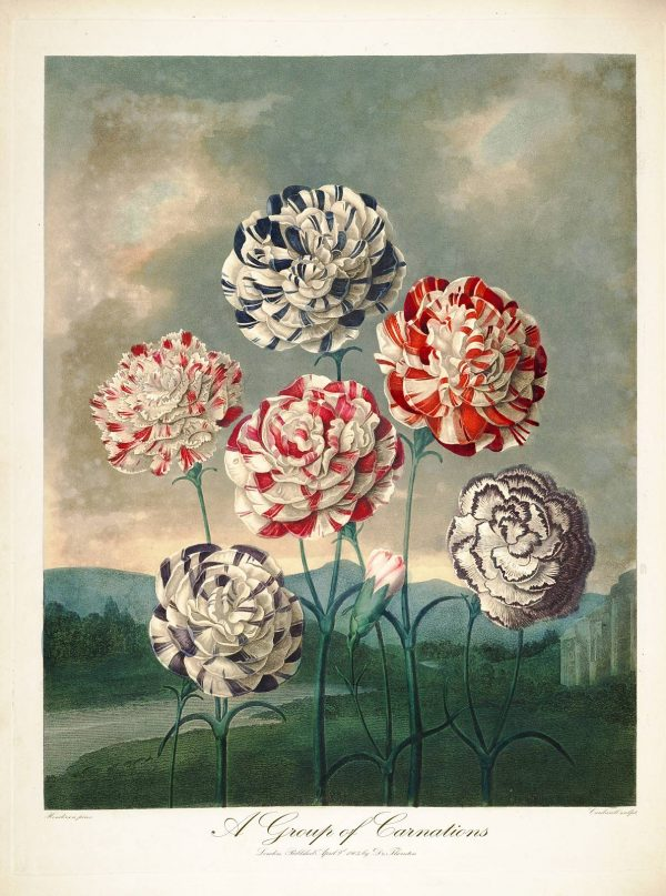 Картина Роберта Джона Торнтона Гвоздики