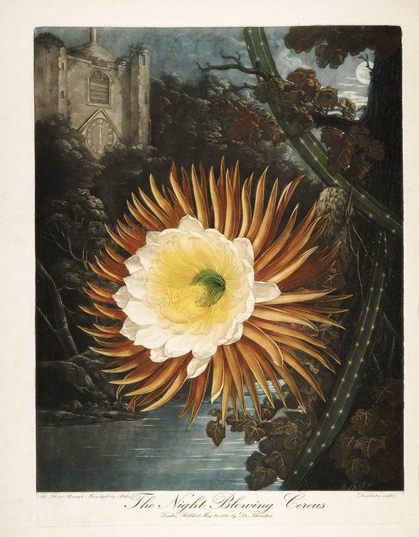 Картина Роберта Джона Торнтона Кактус Цереус