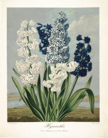 Картина Роберта Джона Торнтона Гиацинты