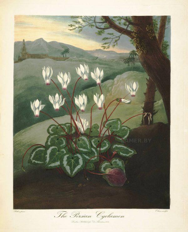 Картина Роберта Джона Торнтона персидский Цикламен