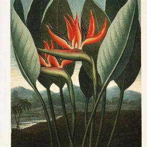 Картина Роберта Джона Торнтона Королева