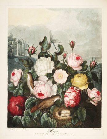 Картина Роберта Джона Торнтона Розы