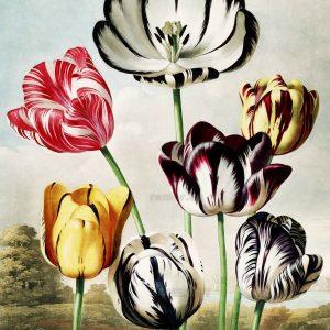 Картина Роберта Джона Торнтона Тюльпаны
