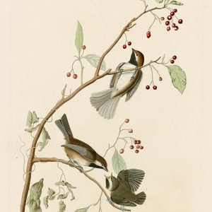 Синица - John James Audubon's Birds Принт Птицы