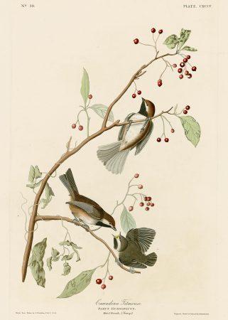 Синица - John James Audubon's Birds Принт Птицы