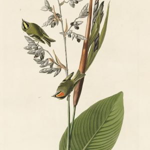 Крапивник - John James Audubon's Birds Принт Птицы