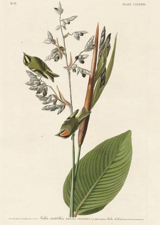 Крапивник - John James Audubon's Birds Принт Птицы
