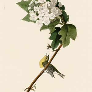 Вирео - John James Audubon's Birds Принт Птицы
