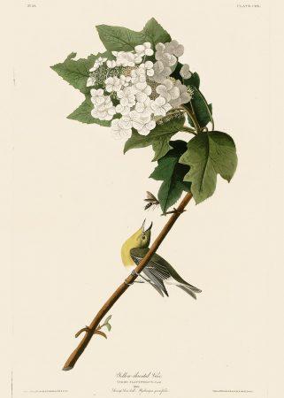 Вирео - John James Audubon's Birds Принт Птицы