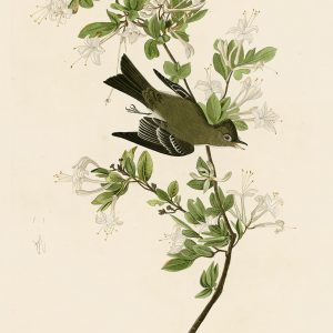 Мухоловка - John James Audubon's Birds Принт Птицы