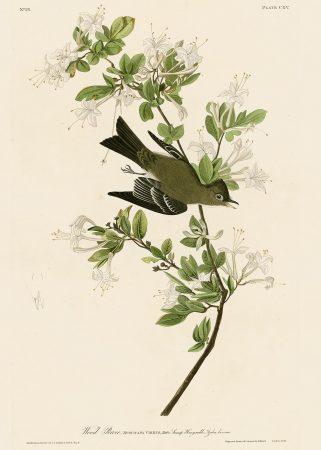 Мухоловка - John James Audubon's Birds Принт Птицы