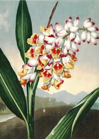 Картина Роберта Джона Торнтона Ренеальмия