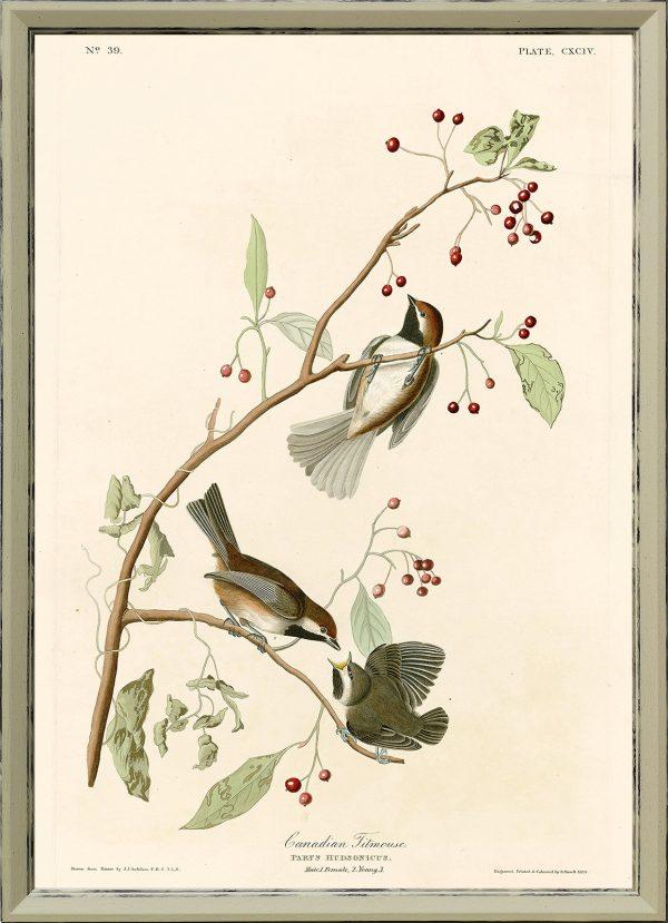 Синица - John James Audubon's Birds