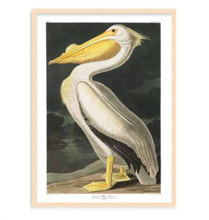 American White Pelican 70 50 241018