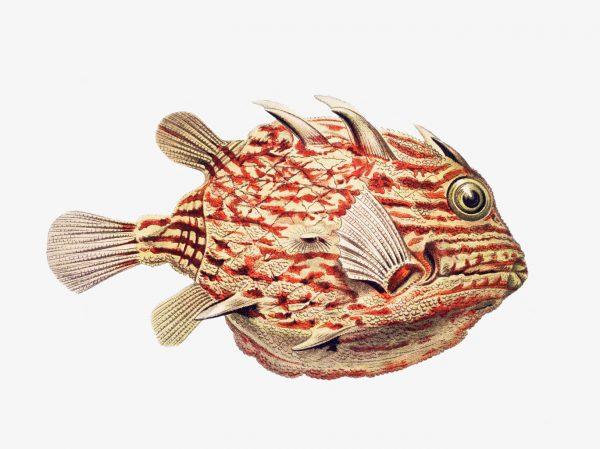 Ernst Haeckel-Boxfish-60 80