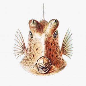 Ernst Haeckel-Boxfish-